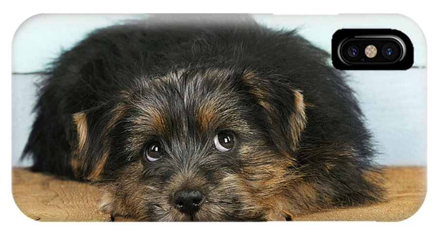 Norfolk Terrier IPhone X / XS Case featuring the photograph Norfolk Terrier Puppy by John Daniels