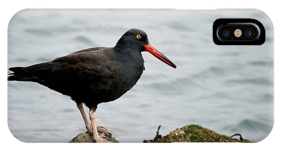 Oystercatcher IPhone X Case featuring the photograph Oystercatcher by Betty Depee