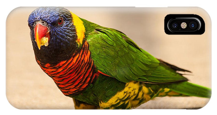 Kc Zoo Photographs IPhone X Case featuring the photograph Parakeet With Treat by Terri Morris