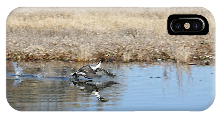 Pintail IPhone X / XS Case featuring the photograph Pintail Takeoff From Water by Jack Nevitt