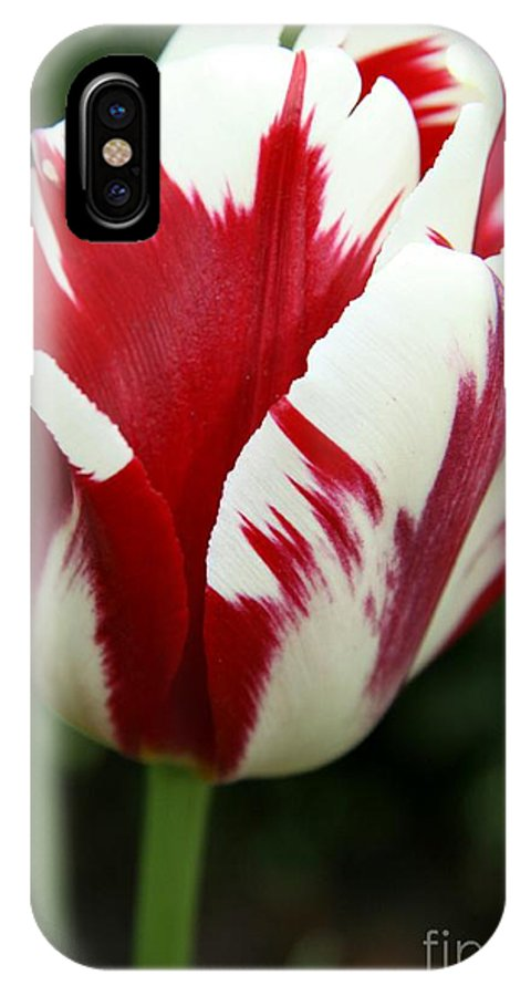 Tulip IPhone X Case featuring the photograph Red And White by Christiane Schulze Art And Photography