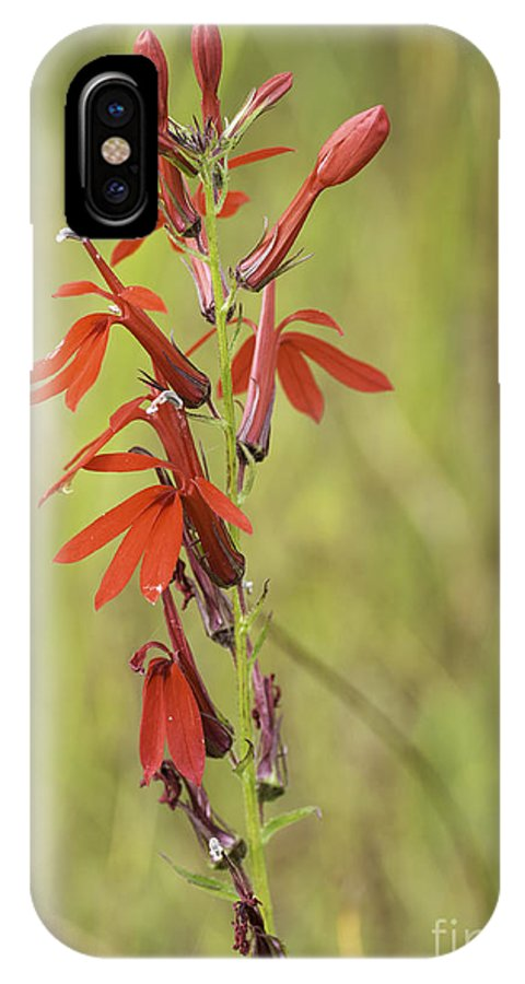 Obelia Cardinalis IPhone X Case featuring the photograph Red Cardinal Flower by Les Palenik
