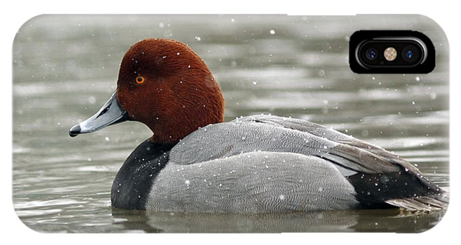 Canadian IPhone X Case featuring the photograph Redhead Duck In A Winter Snow Storm by Inspired Nature Photography Fine Art Photography