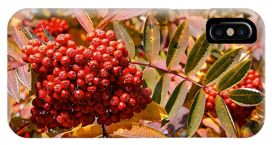 Canmore Canada Tree Trees Fall Color Autumn Colors Leaf Leaves Buffalo Berry Berries Fruit Fruits IPhone X Case featuring the photograph Reds by Bob Phillips