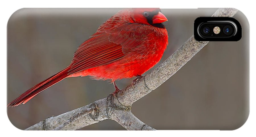 Northern Cardinal IPhone X Case featuring the photograph Reds by Tony Beck