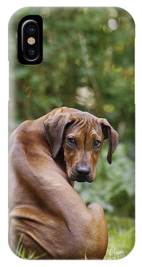 Rhodesian Ridgeback IPhone X / XS Case featuring the photograph Rhodesian Ridgeback Puppy by Jean-Michel Labat