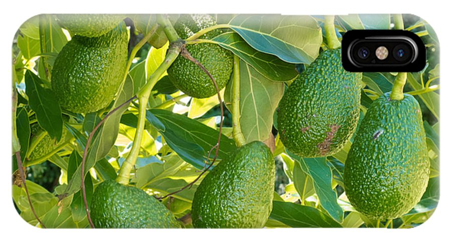 Agricultural IPhone X Case featuring the photograph Ripe Avocado Fruits Growing On Tree As Crop by Stephan Pietzko
