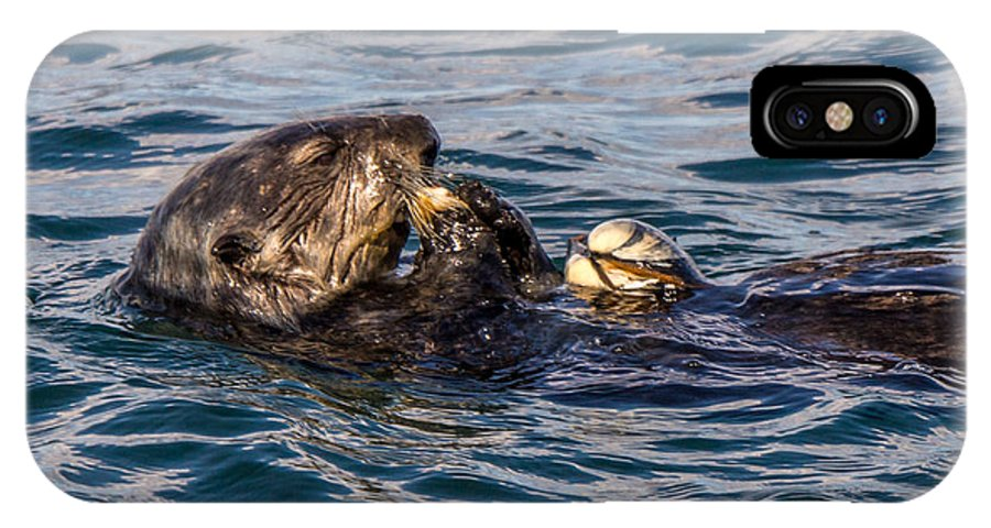 A Southern Sea Otter Snaing On A Clam In The Waters Of The Monterey Bay IPhone X Case featuring the photograph Sea Otter With Clam 2 by Randy Straka