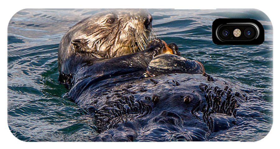 A Southern Sea Otter Enjoying A Clam On The Waters Of The Monterey Bay IPhone X Case featuring the photograph Sea Otter With Clam by Randy Straka