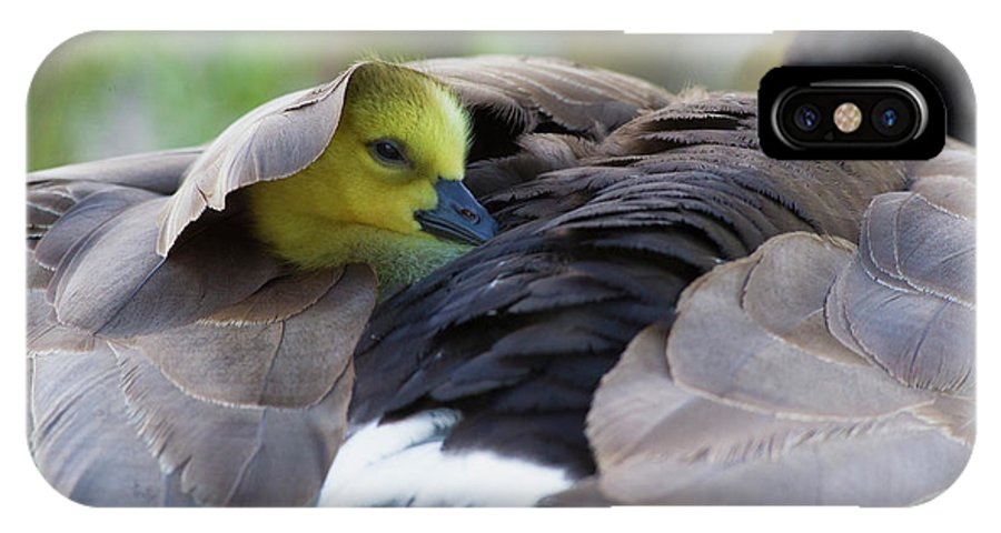 Baby IPhone X Case featuring the photograph Snuggling Gosling by Ken Archer