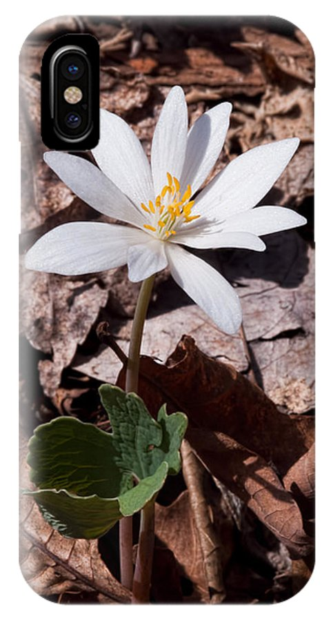 Bloodroot Flowers IPhone X Case featuring the photograph Spring Bloodroot Wildflower 2 by Lara Ellis