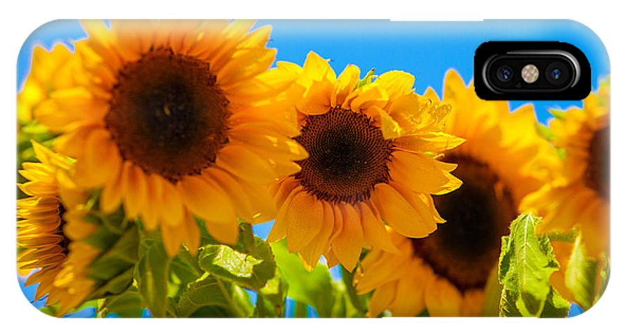 Sunflowers IPhone X Case featuring the photograph Sunflowers 3 by Dasmin Niriella