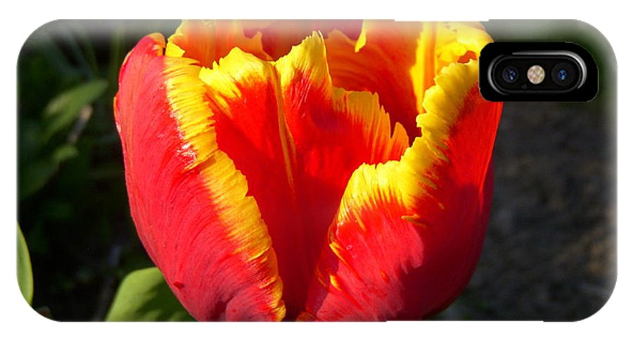 Tulip IPhone X Case featuring the photograph Sunkist by Terri Waselchuk