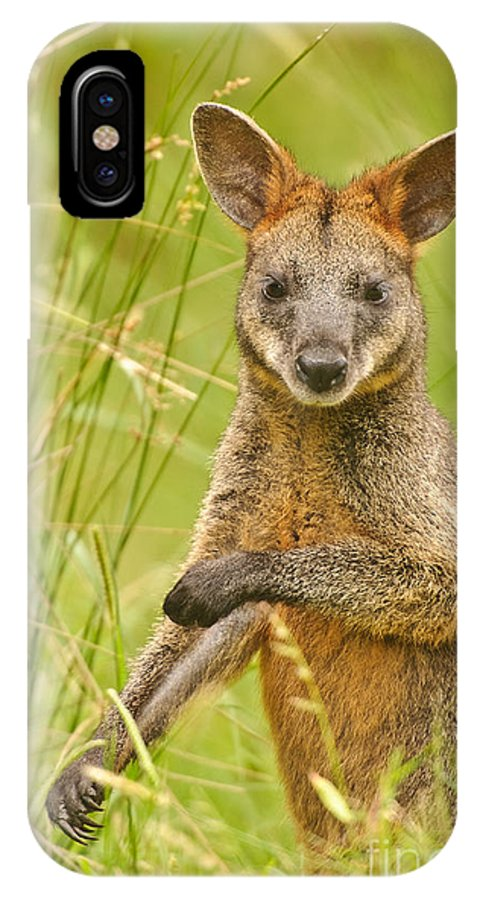 Swamp Wallaby IPhone X / XS Case featuring the photograph Swamp Wallaby by Michael Nau