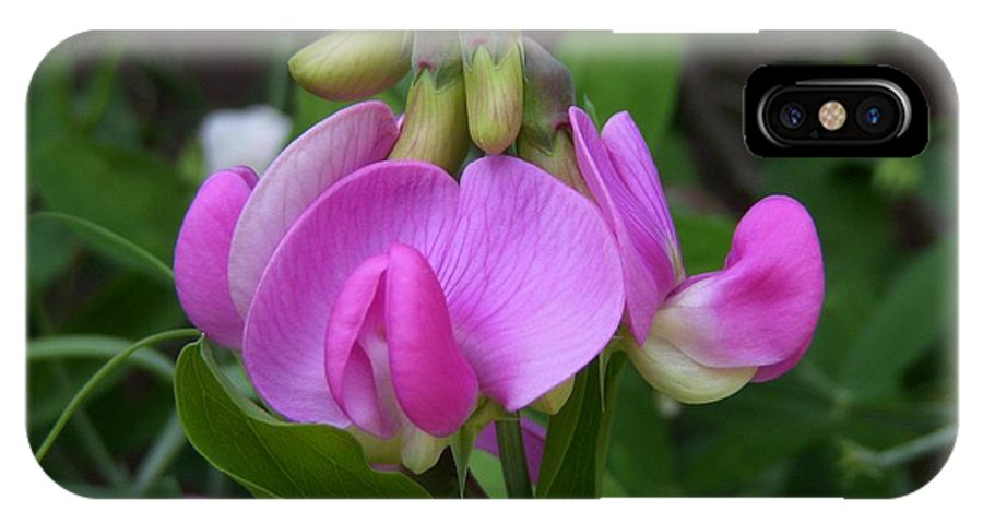 Sweet Pea IPhone X Case featuring the photograph Sweet Pea Perfection by Terri Waselchuk