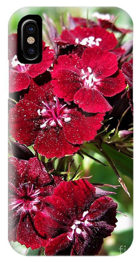 Mccombie IPhone X Case featuring the photograph Sweet William Named Sooty by J McCombie