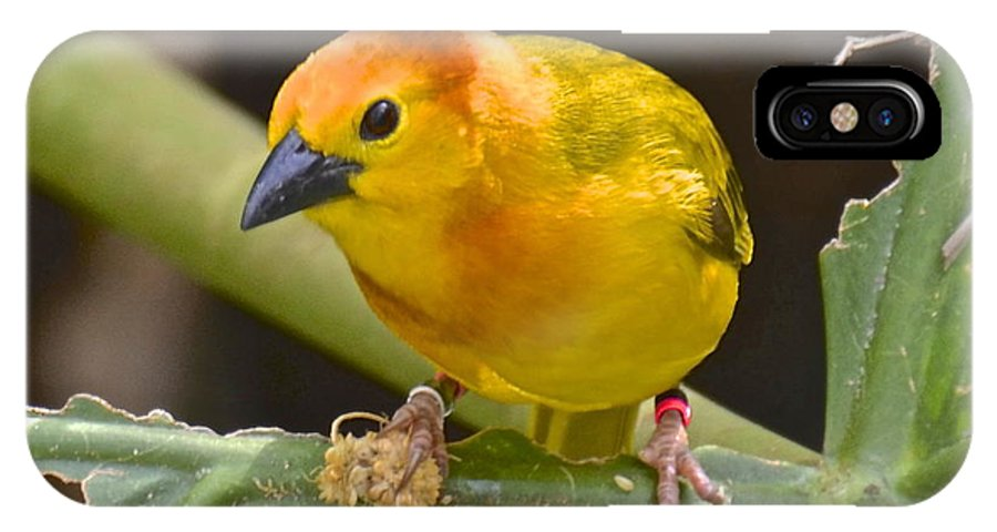 Male IPhone X Case featuring the photograph Taveta Golden Weaver by Carol Bradley