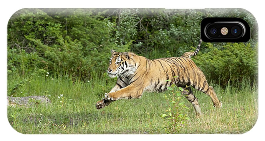 Tiger IPhone X Case featuring the photograph The Chase Begins by Sandra Bronstein