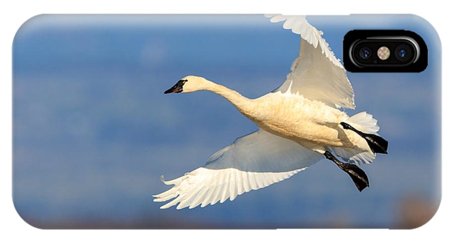 Tundra Swan IPhone X Case featuring the photograph Tundra Swan Landing by Leslie Morris