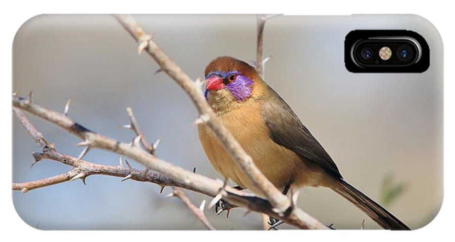 Africa IPhone X Case featuring the photograph Violet Eared Waxbill Female by Hermanus A Alberts