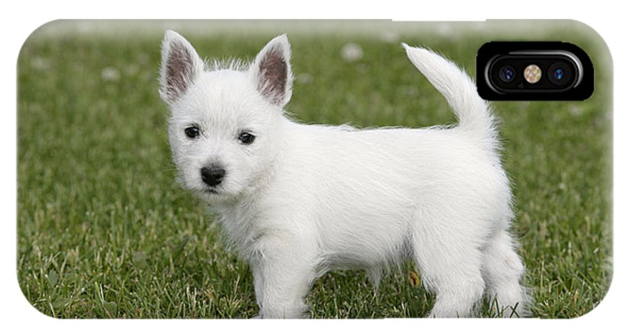 West Highland White Terrier IPhone X / XS Case featuring the photograph West Highland White Terrier Puppy by Rolf Kopfle