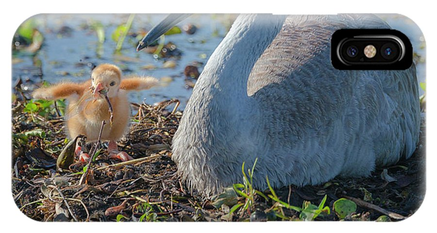 Baby Animal IPhone X Case featuring the photograph Wild Sandhill Crane Feeding First Colt by Maresa Pryor