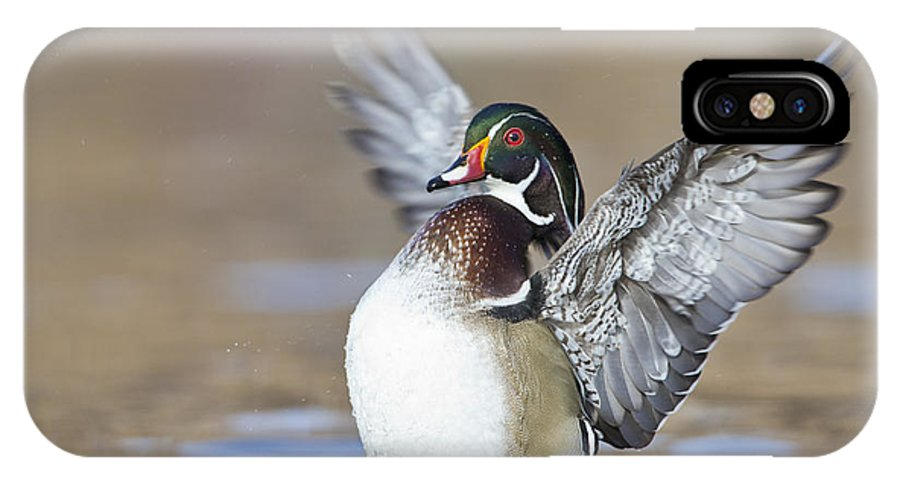 Wood Duck IPhone X / XS Case featuring the photograph Wings Up Shoot by Bryan Keil