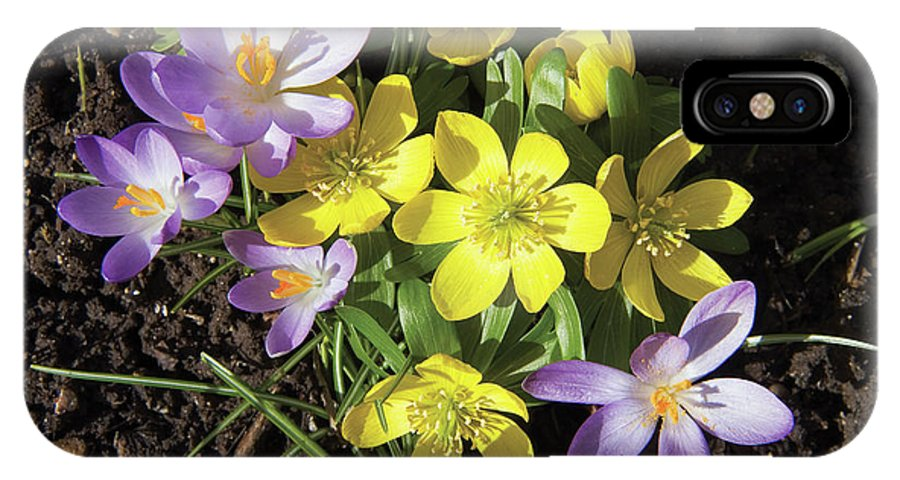 Eranthis Hyemalis IPhone X Case featuring the photograph Winter Acconite And Crocus Flowers by Sheila Terry/science Photo Library