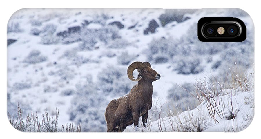 Bighorn IPhone X Case featuring the photograph Winter Ram by Mike Dawson