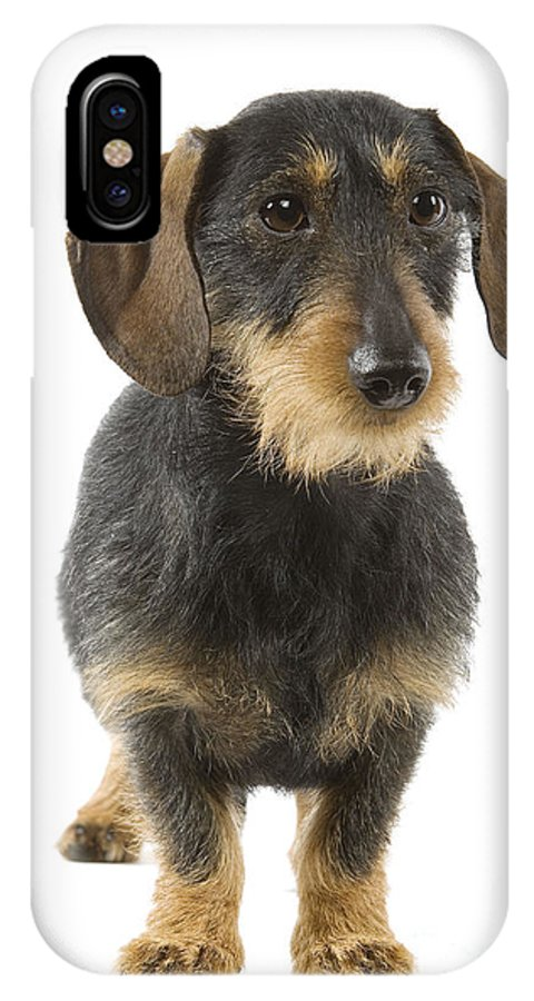 Wire-haired Dachshund IPhone X / XS Case featuring the photograph Wire-haired Dachshund by Jean-Michel Labat