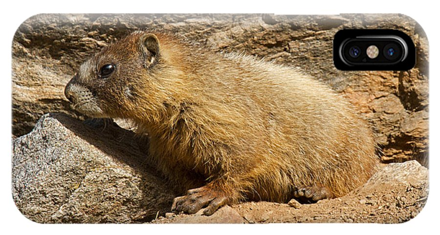 Animal IPhone X Case featuring the photograph Yellow Bellied Marmot Checking Out The Neighborhood In Rocky Mountain National Park by Fred Stearns