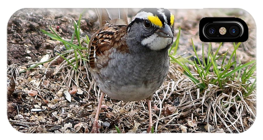 Yellow Crowned Sparrow IPhone X Case featuring the photograph Yellow Crowned Sparrow by Lori Tordsen