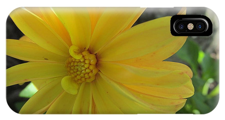 Dahlias IPhone X Case featuring the photograph Yellow Dahlia by Tina M Wenger