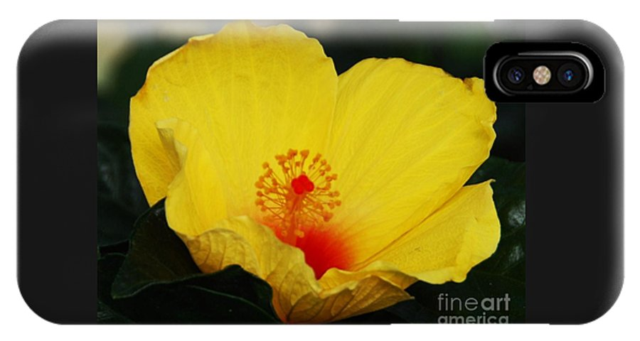 Floral Art Yellow Hibiscus Sunlit Petals Red Heart Yellow Seed Greenery Nature Bermuda Flora Macro Outdoors Home Decor Vibrant Sub Tropical Plant Wood Print Metal Frame Canvas Print Poster Print Available On Greeting Cards Anniversary Cards Birthday Cards Mugs T Shirts Shower Curtains Tote Bags Throw Pillows Phone Cases Pouches Spiral Notebooks Beach Towels And Weekender Tote Bags. IPhone X Case featuring the photograph Yellow Hibiscus by Marcus Dagan