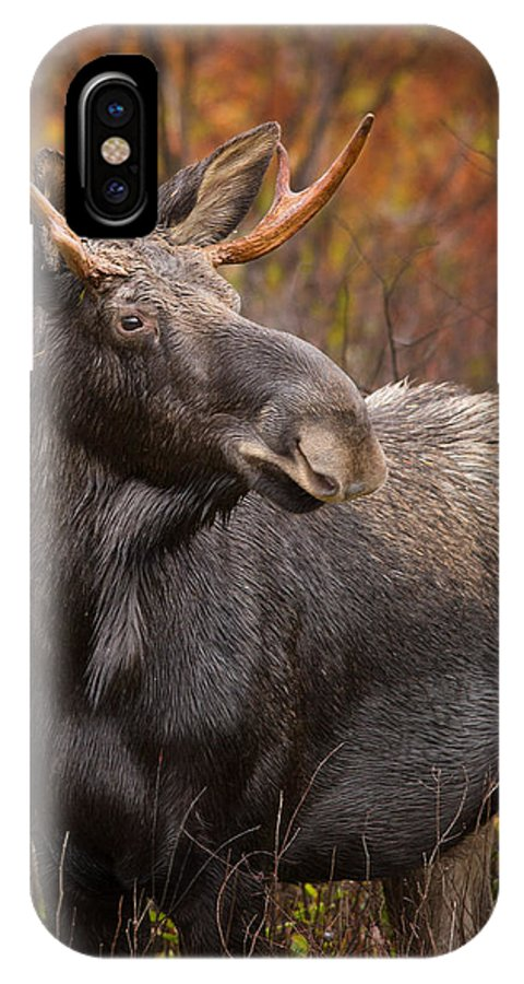 Moose IPhone X Case featuring the photograph Young Bull Moose by Jonathan Steele