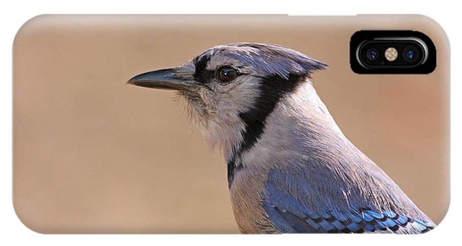 Blue Jay IPhone X Case featuring the pyrography Blue Jay Posing by David Cutts