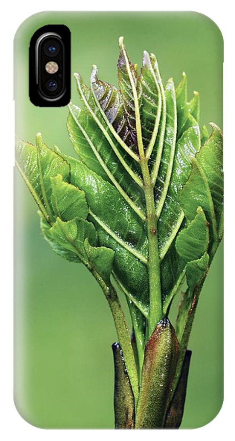 Fraxinus Excelsior IPhone X / XS Case featuring the photograph Ash (fraxinus Excelsior) Leaves Emerging by Colin Varndell