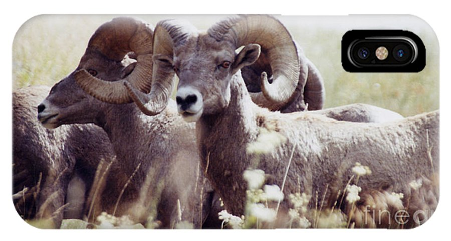 Nature IPhone X Case featuring the photograph Bighorn Sheep by Maili Page