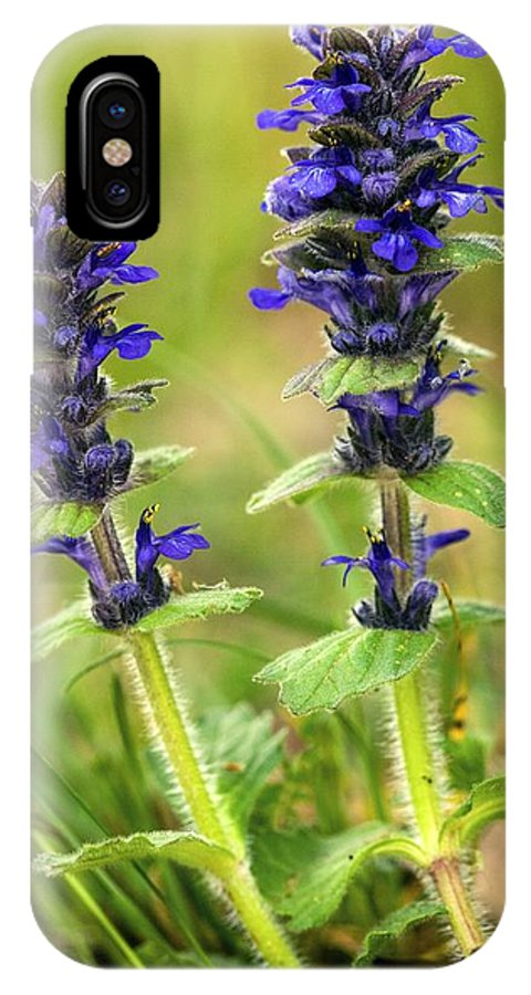 Blue Bugle IPhone X / XS Case featuring the photograph Blue Bugle (ajuga Genevensis) by Bob Gibbons