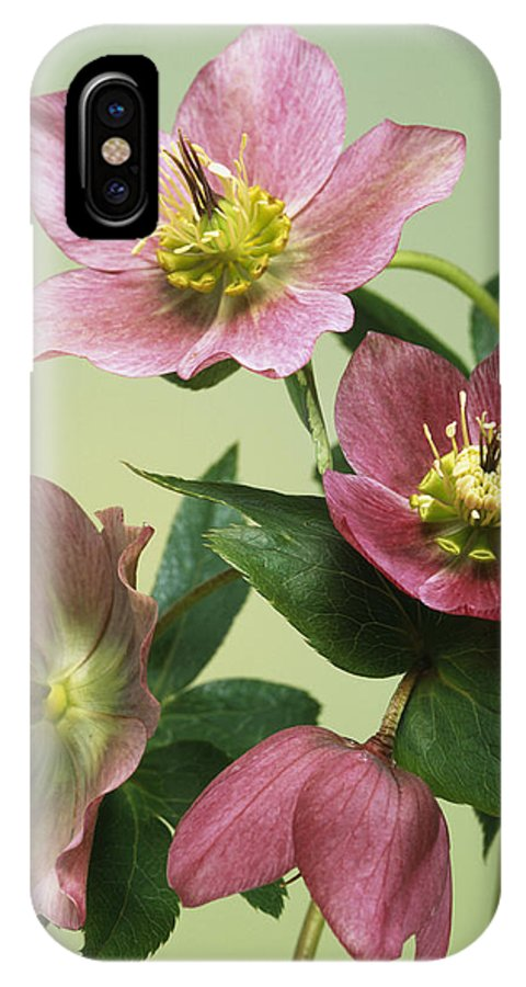 Helleborus Sp. IPhone X Case featuring the photograph Hellebore Flowers by Sheila Terry