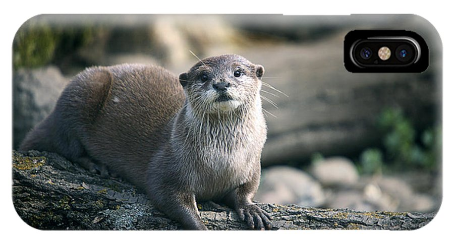 Aonyx Cinerea IPhone X / XS Case featuring the photograph Oriental Small-clawed Otter by Linda Wright