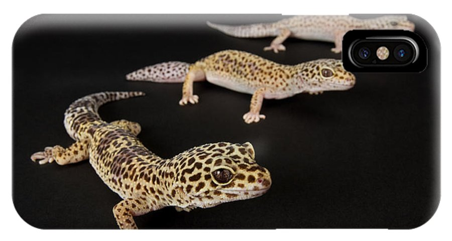 Property Released Photography IPhone X Case featuring the photograph Three Female Leopard Geckos Eublepharis by Joel Sartore