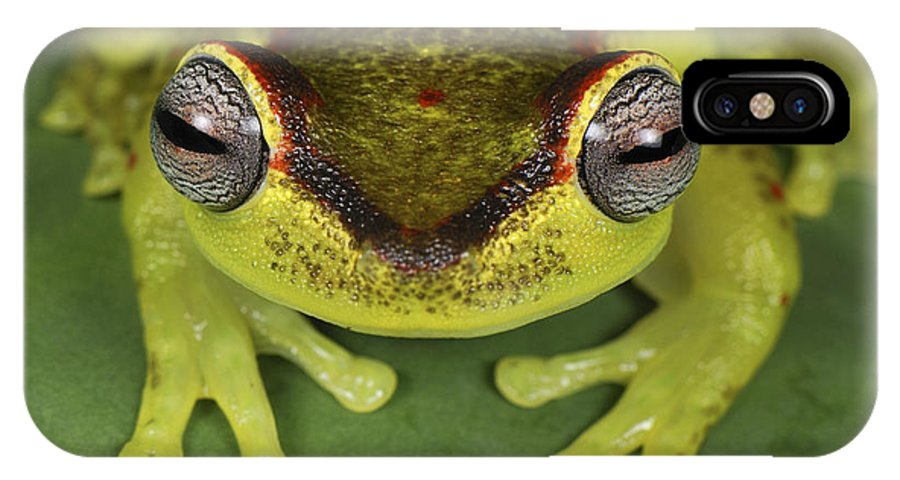 Mp IPhone X Case featuring the photograph Tree Frog Hyla Rubracyla At Night by Thomas Marent