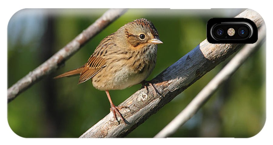 Doug Lloyd IPhone X Case featuring the photograph Lincolns Sparrow by Doug Lloyd