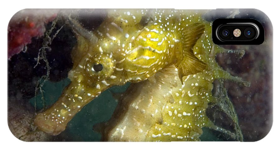 Hippocampus Guttulatus IPhone X / XS Case featuring the photograph Seahorse by Louise Murray