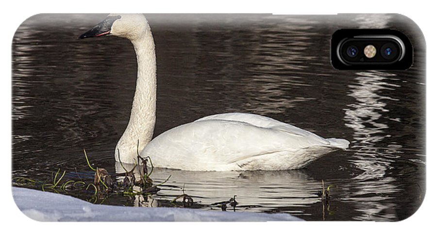 Doug Lloyd IPhone X Case featuring the photograph Trumpeter Swan by Doug Lloyd