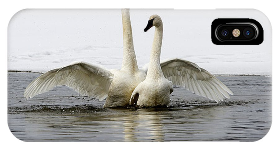 Doug Lloyd IPhone X Case featuring the photograph Trumpeter Swans by Doug Lloyd
