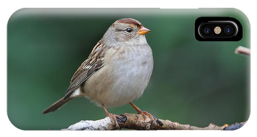 Doug Lloyd IPhone X Case featuring the photograph Whitecrowned Sparrow by Doug Lloyd
