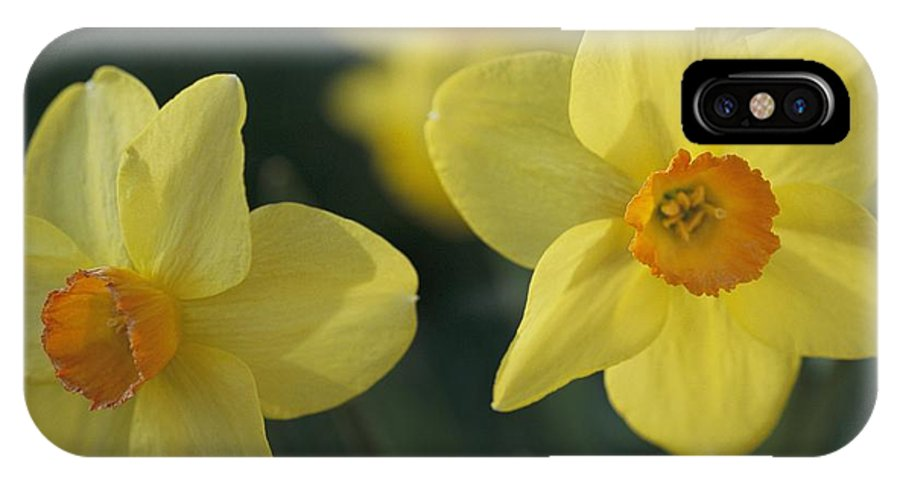 Plants IPhone X / XS Case featuring the photograph Close View Of Early Spring Daffodils by Darlyne A. Murawski