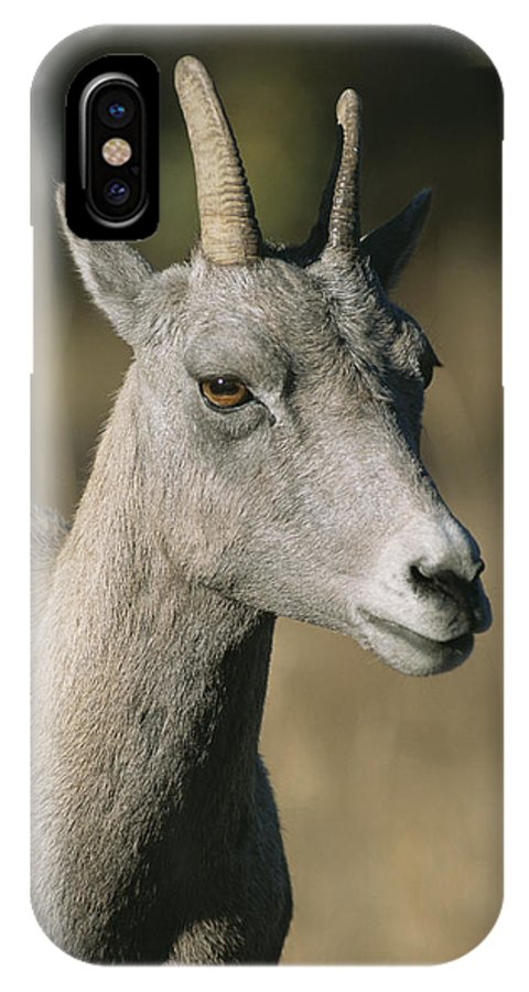 North America IPhone X / XS Case featuring the photograph A Close View Of A Bighorn Sheep Ewe by Tom Murphy